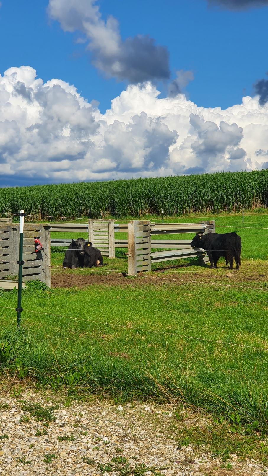 de tres grosses vaches noires